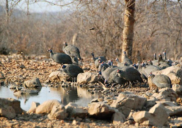 Namibia - Etosha - Waterhole from Hide - Guinea Fowl