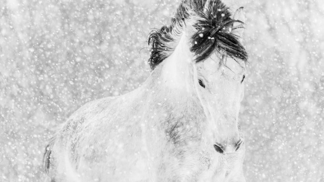 Black And White Wild Horse Photography By Lisa Cueman