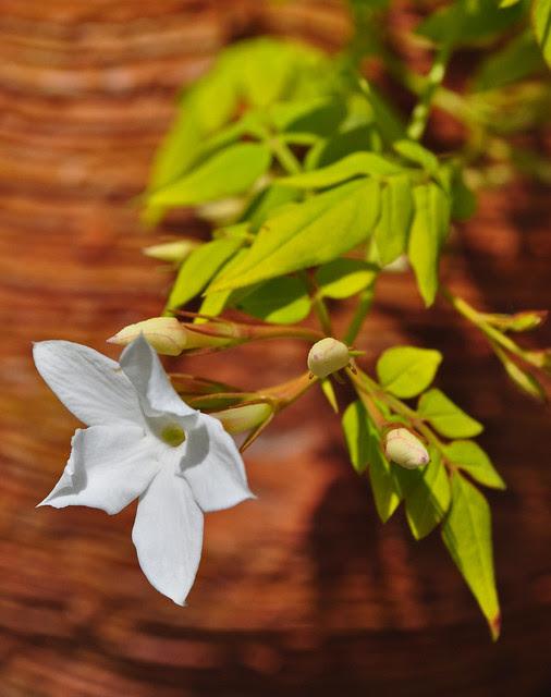 Jasminum officinale 'Aureum'