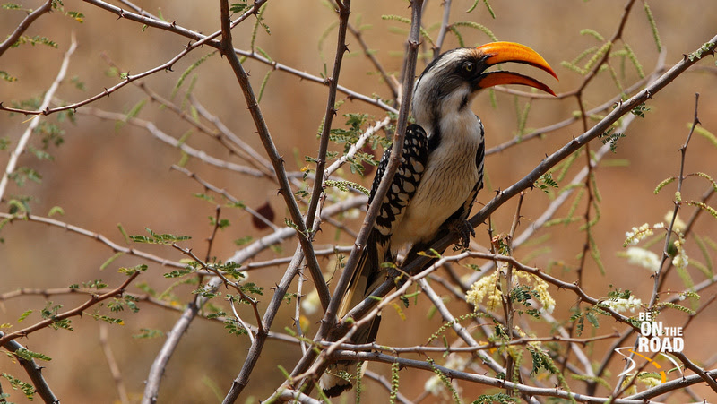 Eastern Yellow-billed Hornbill at Samburu National Reserve, North Kenya