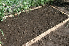 asparagus planted bed
