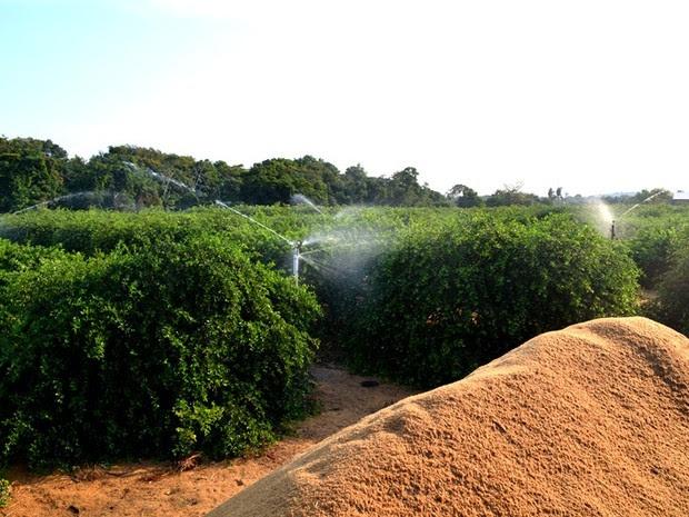 Produtor usa palha de arroz para controlar a temperatura do solo. (Foto: Luana Leão/G1)
