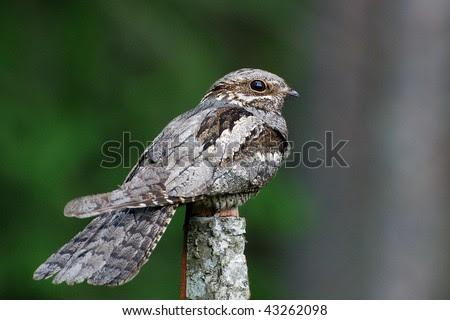 European nightjar - stock photo