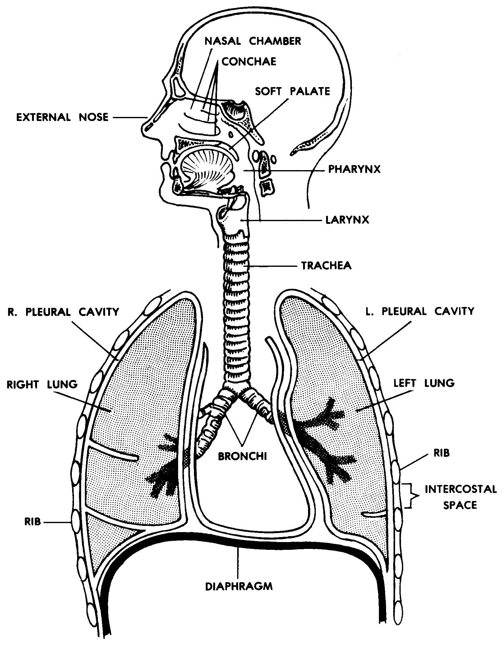 Images 07. Respiratory System and Breathing   Basic Human ...