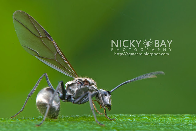 Ant (Formicidae) - DSC_9663