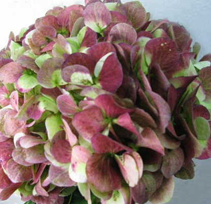 Black Cherry 128 Design Master Just For Flowers Ifloralcom