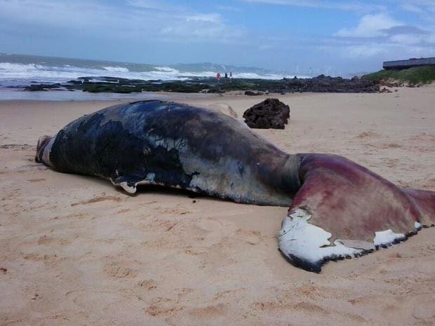 Baleia Jubarte de mais de quatro metros foi encontrada morta (Foto: Maurizélia Brito/Atol das Rocas)