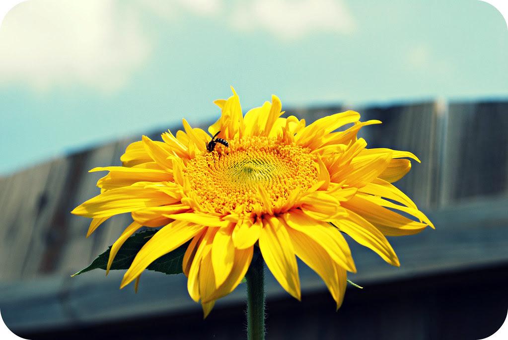 bloomingsunflowers2