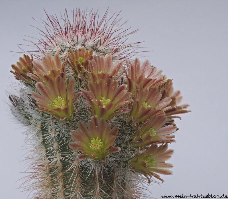 Echinocereus neocapillus SB 1039