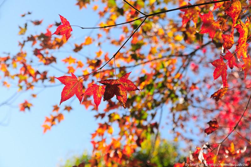 福壽山農場楓紅-30