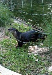 Otter_61811