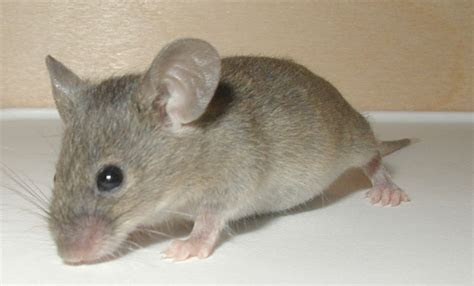 Mouse   Wild Life Animal