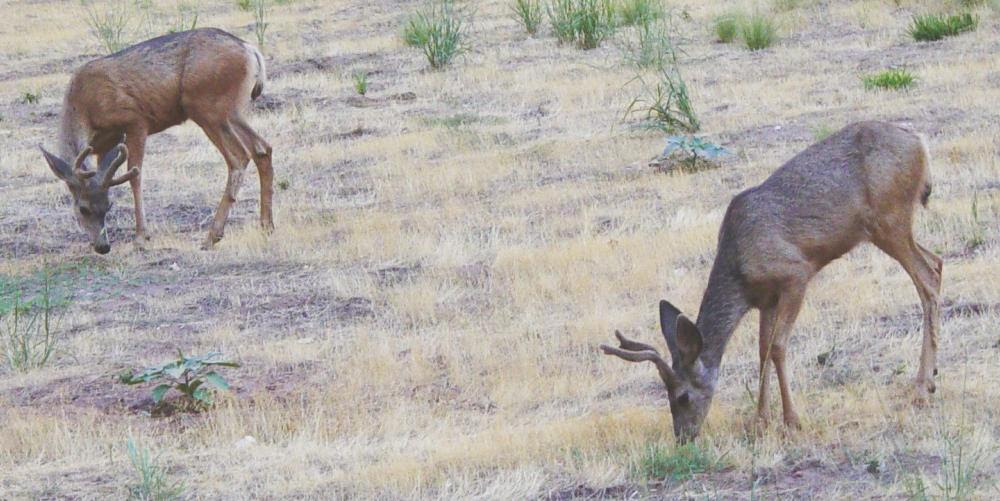 http://upload.wikimedia.org/wikipedia/commons/a/ab/Mule_Deer_in_Zion_Canyon.jpeg