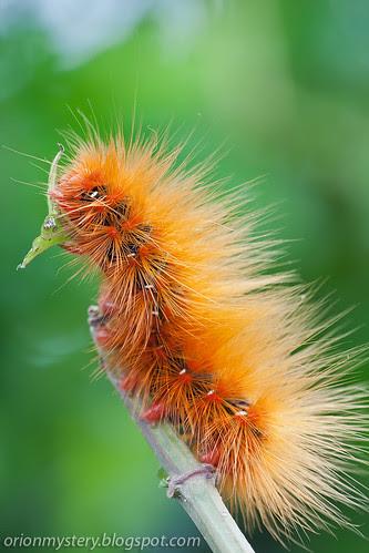Hawk moth caterpillar, SphingidaeIMG_5617 copy