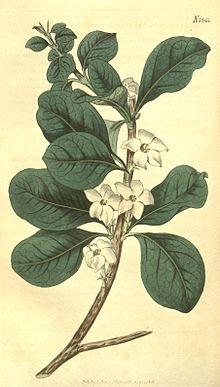 http://upload.wikimedia.org/wikipedia/commons/thumb/6/6b/Randia_aculeata_(as_Gardenia_randia)_43.1841.jpg/220px-Randia_aculeata_(as_Gardenia_randia)_43.1841.jpg