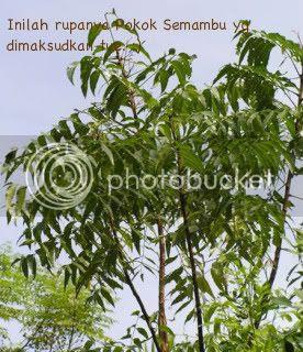 Pokok Semambu (Melia Indica)