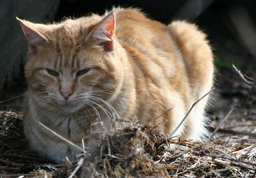 an orange-ginger feral cat finds rest in some dead grass and sticks
