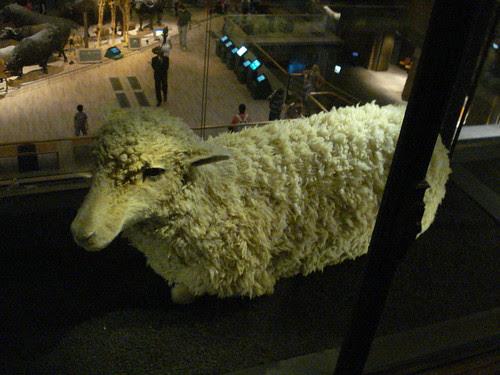mouflon merinos merino sheep wool fiber taxidermy mounted specimen