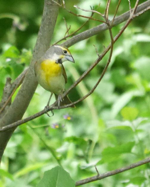 Ed Gaillard: birds &emdash; Dickcissel, Central park