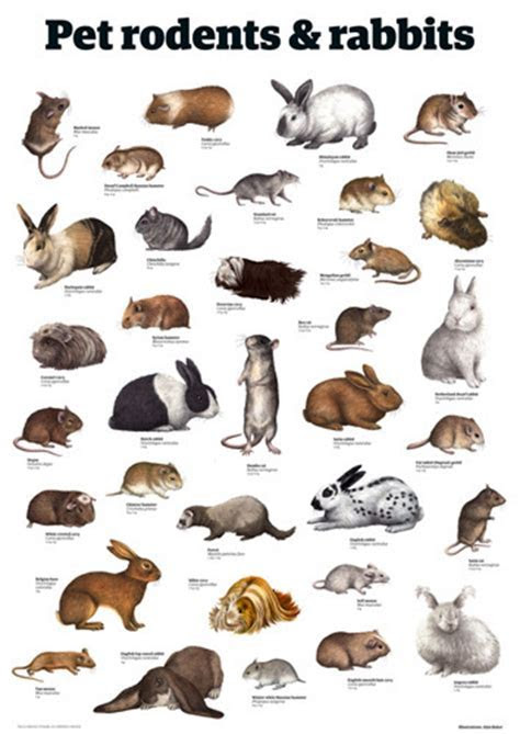 Pet rodents & rabbits by Guardian Wallchart