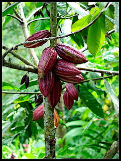cacao pods, raw cacao benefits, benefits of raw cacao, cool facts about chocolate