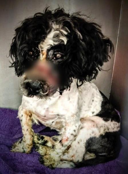 Exigen justicia para el perrito que tenía la boca sujeta con ligas, a causa de niño de 7 años