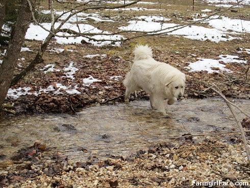 Hello spring (4) - Daisy, one of our two livestock guardian dogs, splashes across the creek to come say hi - FarmgirlFare.com