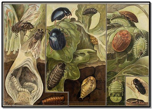 Beetles - Zoological Wallcharts 1900-1950