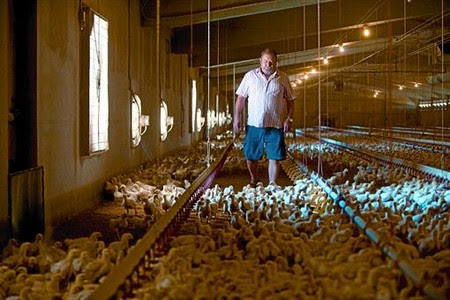 El ramader Joan Serra, divendres passat, a la seva granja avícola d'Artesa de Lleida, on aquest estiu està engreixant 90.000 pollastres.
