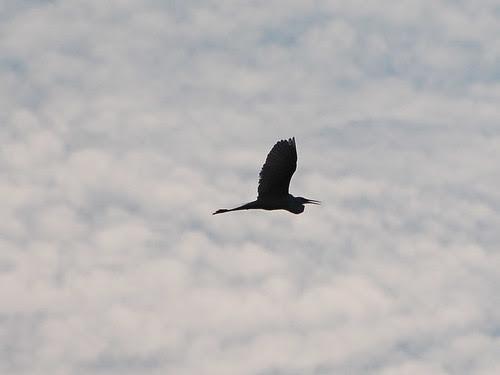 Egret in Silhouette
