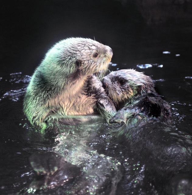国内水族館のラッコ激減 交尾行動を学べないのも一因か朝日新聞デジタル
