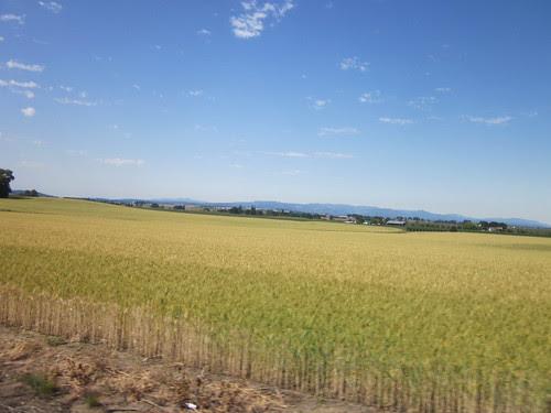 Wheatfields, Hwy 99 south of Amity