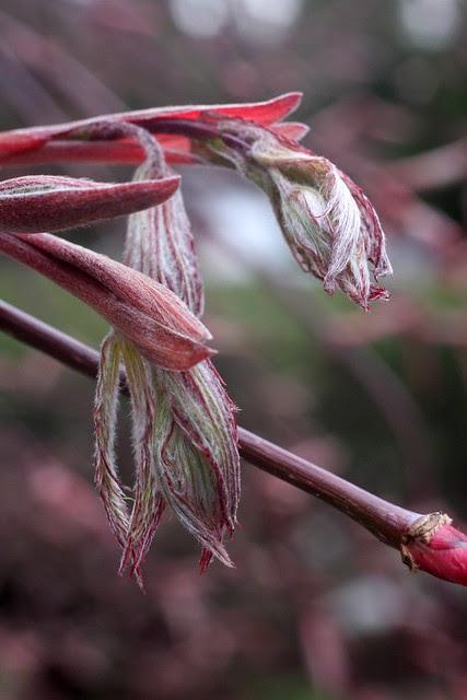 japanese maple buds, april 2011