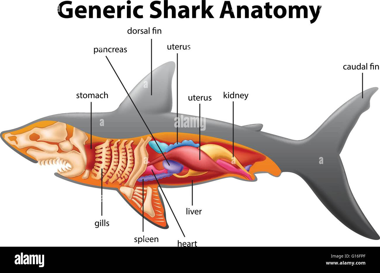 generic shark anatomy chart illustration G16FPF