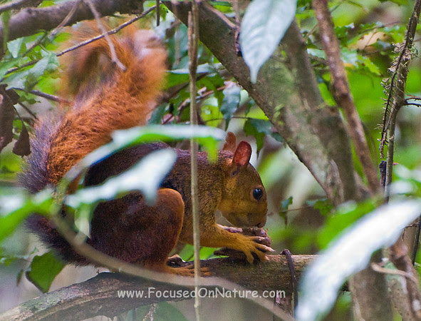 Northern Amazonian Red Squirrel