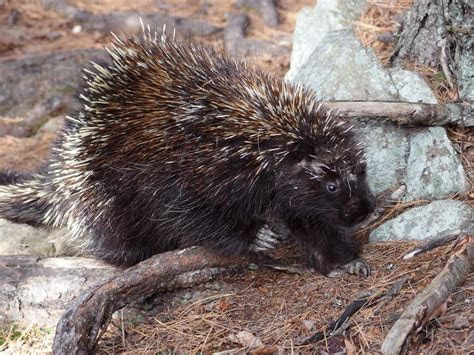 Opinions on North American porcupine