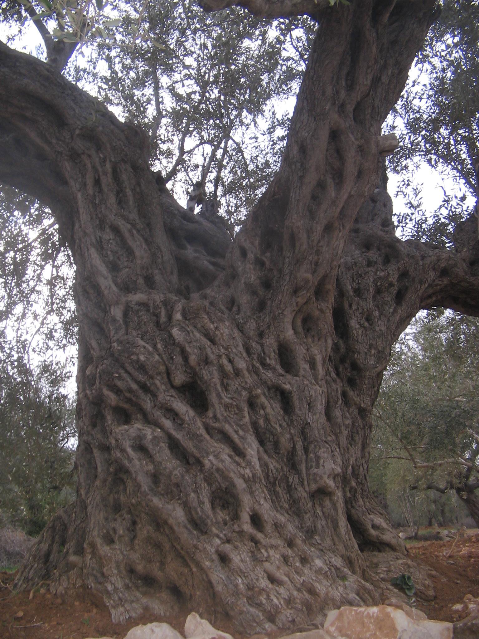 Husan-حوسان: تراث طبيعي(شجرة زيتون معمرة في حوسان)