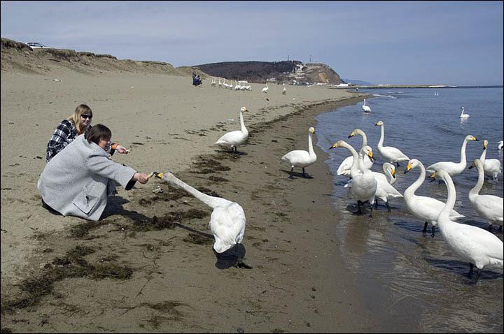 Sakhalin swans