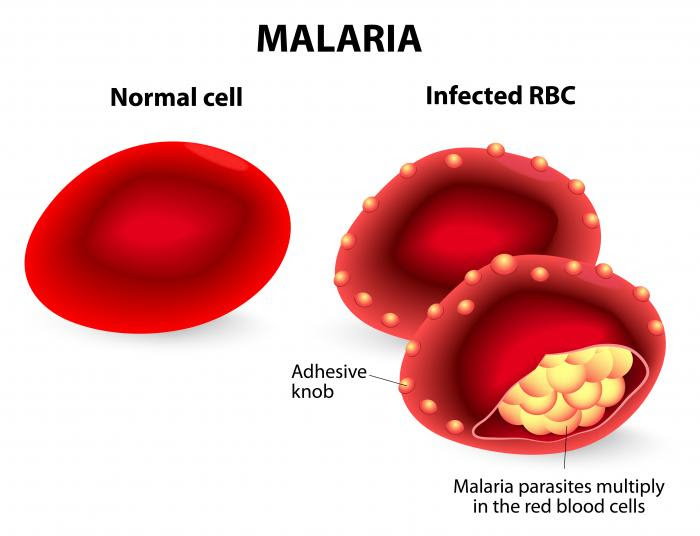 malaria parasites invade the red blood cells multiplying quickly