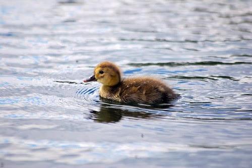 Pochard duckings