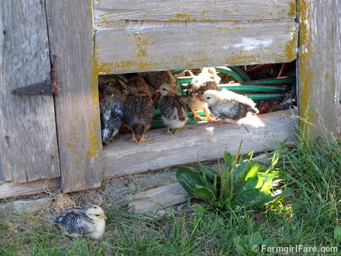 (14) Baby chicks - FarmgirlFare.com