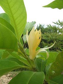 Magnolia champaca2.JPG