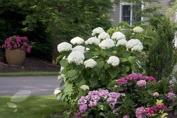 Hydrangea Incrediball in full bloom!