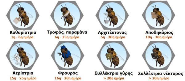 perierga.gr - Η κατανομή εργασίας της εργάτριας μέλισσας