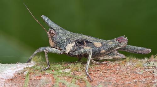 Tetrigidae . Saussurella - S. decurva or a closely related species. IMG_8633 merged copy