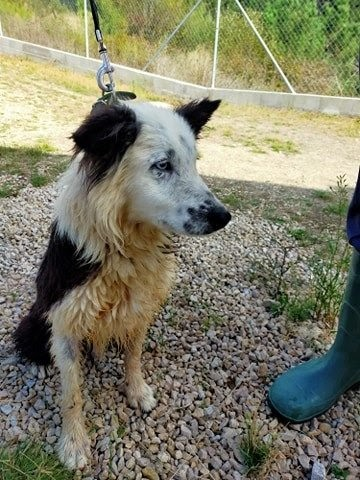 Khan – 8 year old male Border Collie