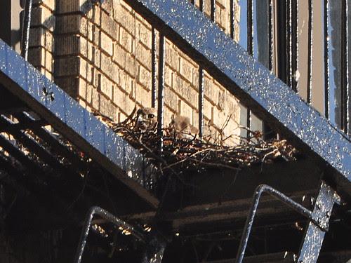 Washington Heights Hawk Nest