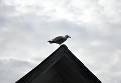 Seagull_7410d