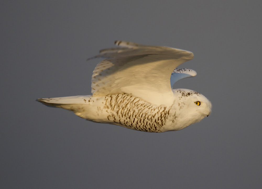Snowy Owl Flyby