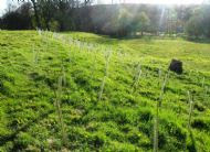 Native copse planting in Sid Meadow